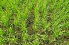 Красивое поле риса Стоковые Изображения RF