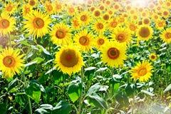 Красивое поле солнцецвета в лете Стоковое фото RF