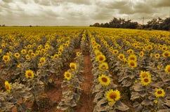 Красивое поле солнцецветов в лете Стоковое фото RF