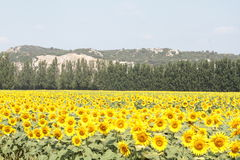 Красивое поле солнцецветов - Провансаль, Франция стоковое фото