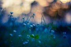 Красивое поле с стоцветом на заходе солнца Стоковые Фото