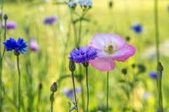 Красивое поле луга с полевыми цветками Крупный план Wildflowers весны предпосылка запачкала пилюльку маски здоровья стороны принц Стоковое Фото