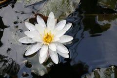 Красивое полное цветение цветка лилии белой воды в озере Стоковая Фотография RF