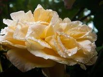 Красивое подняло в дождь Стоковая Фотография