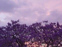 Красивое пурпурное дерево Jacaranda на заходе солнца стоковая фотография