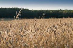 Красивое пшеничное поле лета только перед сбором Стоковое фото RF