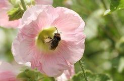 Красивое растущее цветка Hollyhock в саде страны в Великобритании будучи опылянным шмелем Стоковое Фото