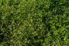 Красивое растущее цветков на северном побережье острова Мадейры Стоковое фото RF