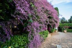 Красивое розовое дерево tomentosa Congea в саде может быть вызван Wooly Congea, орхидея ливня, krua дальше Стоковое Фото