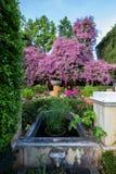 Красивое розовое дерево tomentosa Congea в саде может быть вызван Wooly Congea, орхидея ливня, krua дальше Стоковое фото RF