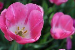 Красивое розовое цветене тюльпана весны Стоковое фото RF