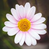 Красивое розовое цветение на темной предпосылке Стоковые Фото