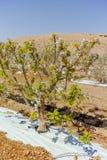Красивое розовое цветение яблони, весеннее время в саде кибуц Стоковая Фотография RF