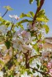 Красивое розовое цветение яблони, весеннее время в саде кибуц Стоковые Фотографии RF