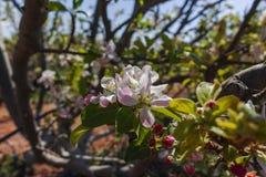 Красивое розовое цветение яблони, весеннее время в саде кибуц Стоковые Изображения