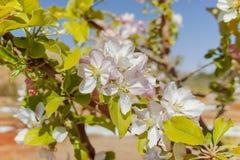 Красивое розовое цветение яблони, весеннее время в саде кибуц Стоковое Изображение RF