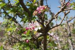 Красивое розовое цветение яблони, весеннее время в саде кибуц Стоковое Изображение