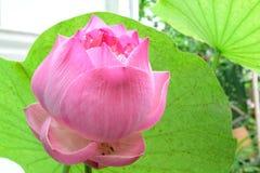 Красивое розовое flowerslotus Стоковые Фото