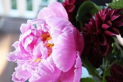 Красивое розовое peonie Стоковое Изображение