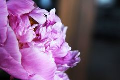 Красивое розовое peonie Стоковая Фотография