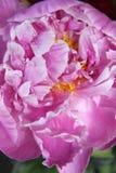 Красивое розовое peonie Стоковые Фотографии RF