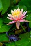 Красивое розовое tutrtle лилии воды и водяной черепахи младенца стоковые фотографии rf