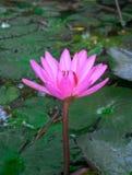 Красивое розовое Waterlily, аквариумные растениа растет в пруде стоковые фотографии rf