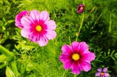 Красивое розов-фиолетовое bipinnatus космоса цветет в весеннем сезоне на ботаническом саде Стоковая Фотография
