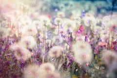 Красивое семя одуванчика ландшафта весной -, пушистый шарик дуновения стоковое изображение