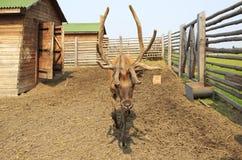 Красивое сибирское рогач с большими antlers. Стоковая Фотография
