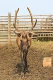 Красивое сибирское рогач с большими antlers. Altai. Стоковые Изображения