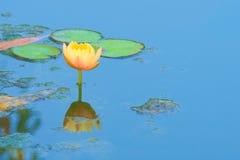 Красивое, совершенное, светлое цветене цветка лотоса персика полностью, в во власти водоросл пруде в сочном тайском парке сада Стоковое фото RF