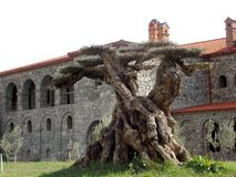 Красивое старое дерево, Грузия стоковое фото