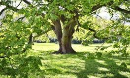 Красивое старое дерево на зеленых луге или парке Стоковые Изображения RF