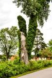 Красивое старое дерево с лозами Climing Стоковые Фото
