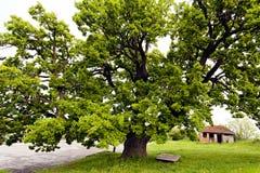 Красивое старое дерево Стоковая Фотография
