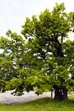 Красивое старое дерево Стоковое фото RF