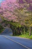 Красивое сценарное одичалой гималайской вишни зацветая в Ang Kh Doi Стоковое Фото