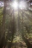 Красивое утро в лесе стоковые фотографии rf
