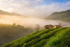 Красивое утро на плантации чая mai chiang Таиланд Стоковые Изображения