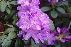 Красивое фиолетовое теплое изображение цветка лаванды стоковая фотография rf