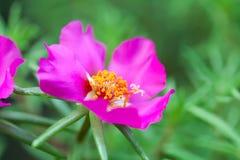Красивое фиолетовое oleracea Portulaca цветка фокуса зеленого цвета завода сада взгляда макроса предпосылка красочного мягкого фл Стоковое Фото