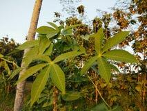 Красивое фото дерева лист кассавы фоновое изображение природы лист кассавы Стоковые Изображения