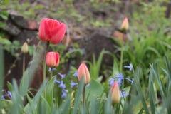 Красивое фото красных тюльпанов в саде стоковая фотография