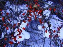 Красивое фото с зрелыми красными ягодами барбариса на предпосылке белого снега в зиме Стоковые Изображения