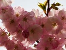 Красивое цветене вишневого цвета Сакуры полностью стоковые фотографии rf