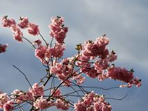 Красивое цветене вишневого цвета Сакуры полностью стоковое изображение