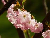 Красивое цветене вишневого цвета Сакуры полностью стоковые изображения rf