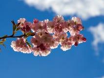Красивое цветене вишневого цвета Сакуры полностью стоковая фотография