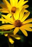 Красивое цветене маргариток в цвете Стоковые Фотографии RF